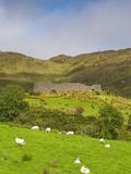 Sheep grazing near Staigue Stone Fort on the Iveragh Peninsula Fotoprint van Doug Pearson