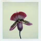 Lady Slipper Orchid Photographic Print by John Kuss