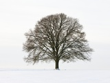 Old oak tree on a field in snow Photographic Print by Frank Lukasseck