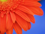 Gerbera Fotografie-Druck von Frank Krahmer
