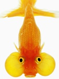 Bubble Eye Goldfish Photographic Print by Martin Harvey