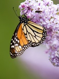 Monarch Butterfly (Danaus Plexippus) Nectaring on Lilac Flowers, Wanup, Ontario, Canada. Photographie par Don Johnston