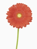Gerbera blossom close-up Photographic Print by Martin Ruegner