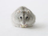 Hamster eating food Photographic Print