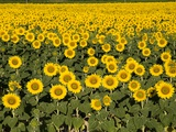 France Provence Rognes field of sunflowers Photographic Print by Paul Seheult