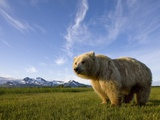 Grizzly Bear in Meadow at Hallo Bay in Katmai National Park Photographic Print by Paul Souders