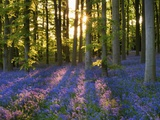 Skov med blåklokker ved Coton Manor Fotografisk tryk af Clive Nichols