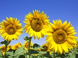 Sunflowers ready for harvest Photographic Print by Frank Lukasseck