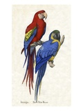 Aracangua and Blue and Yellow Macaw Reproduction procédé giclée