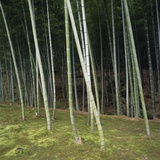 Bamoo Forest in Kyoto Photographic Print by Micha Pawlitzki