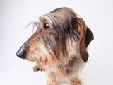 Dachshund Looking Away Photographic Print by Ted Horowitz