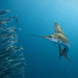 Sailfish feeding on Brazilian sardines Photographie par Stuart Westmorland