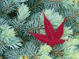 Japanese Maple Leaf on Evergreen Photographic Print by William Manning