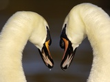 Mute Swan Pair During Their Courtship Ritual Photographic Print by Andrew Parkinson