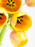 Yellow and orange tulips Photographic Print by Frank Lukasseck