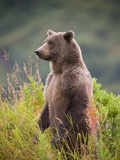 Brown Bear Standing Upright in Tall Grass at Kinak Bay Photographic Print by Paul Souders