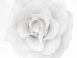 Une rose Photographie par Ron Rovtar