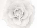 Eine Rose (Übergröße) Fotografie-Druck von Ron Rovtar