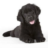 Newfoundland puppy Photographic Print by Michael Kloth