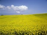 Field of oilseed rape, Yokohama, Aomori Prefecture, Japan Photographic Print by Aso Fujita