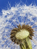 Dandelion seedhead Photographic Print by Frank Krahmer