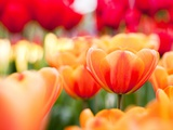 Orange and red tulips Photographic Print by Frank Lukasseck