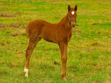 Thoroughbred foal at Stonestreet Farms Photographic Print by Blaine Harrington