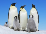 Emperor penguin with group with chicks Photographic Print by Frank Krahmer