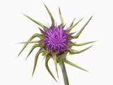 Marian thistle Photographic Print by Frank Krahmer