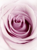 Pink Rose Photographic Print by Joy Atkinson