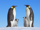 Emperor Penguins with Chicks Photographie par Frank Krahmer