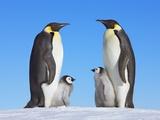 Emperor Penguins with Chicks Photographie par Frank Krahmer