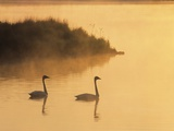 Two Adult Trumpeter Swans (cvanus Buccinator) in Morning Light at the Mouth of Junction Creek, Wald Valokuvavedos tekijn Don Johnston