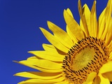 Sunflower Photographic Print by Frank Krahmer