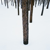 Tree Trunks in Snow Photographic Print by Micha Pawlitzki