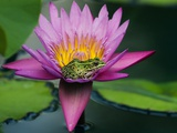 Frog on Waterlily in Urban Pond; Leo Mol Garden; Assiniboine Park, Winnipeg, Manitoba, Canada. Photographic Print by Mike Grandmaison