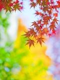 Autumnal Maple Trees Photographic Print