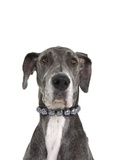 Great dane wearing a pearl necklace Photographic Print by Pauline St. Denis