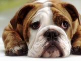 English Bulldog Lmina fotogrfica
