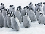 Emperor Penguin Chicks Photographic Print by Frank Krahmer