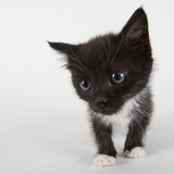 Black and white kitten Photographic Print by Michael Kloth