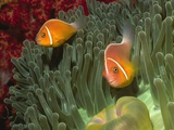 Pink Anemonefish in Magnificant Sea Anemone Photographic Print by Hal Beral