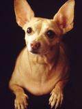 Alert Chihuahua Photographic Print by Jose Luis Pelaez