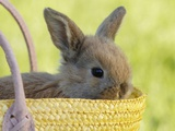 Rabbit sitting in basket, close-up Photographie par Achim Sass