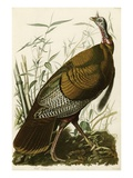 Pavo salvaje Lmina gicle por John James Audubon