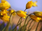 Close-up of daffodils Photographic Print by Craig Tuttle