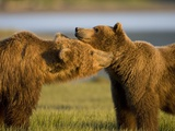 Grizzly Bears Greeting Each Other in Meadow at Hallo Bay Photographic Print by Paul Souders