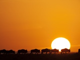 Herd of migrating Wildebeest Photographic Print by Paul Souders