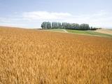 Wheat field, Biei, Hokkaido, Japan Photographic Print by Aso Fujita