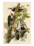 John James Audubon - Pileated Woodpecker - Giclee Baskı